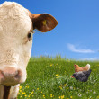 Farm animals on green field - Stock Photo
