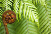 New Zealand fern koru — Foto Stock