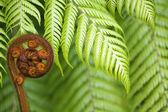 New Zealand fern koru — Stock Photo