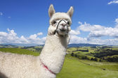 Alpaca on the picturesque landscape background — Stock Photo