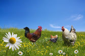 Free range chickens on green meadow — Stock Photo