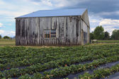 Old barn on strawberry field — Stock Photo
