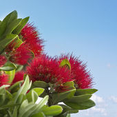 Pohutukawa, the New Zealand Christmas Tree — Stock Photo