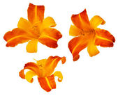 Three Frans Hals bicolored daylillies isolated on white — Stock Photo