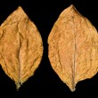 Leaf tobacco - Stock Photo