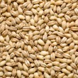 Barley background - Stock Photo