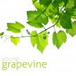 Young grapevine — Stock Photo #25815735