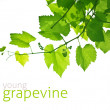 Young grapevine — Stock Photo