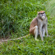 Patas Monkey — Stock Photo #12044421