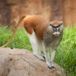 Patas monkey on rock — Stock Photo #12044426