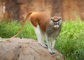 Patas monkey on a rock — Stock Photo