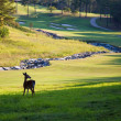 Deer on golf course — Stock Photo #40316831