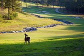 Deer on golf course — Stock Photo