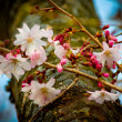 Stock Photo: Cherry Blossom Tree
