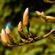Budding Magnolias — Stock Photo