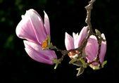 Magnolia blossoms — Stock Photo