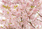 Covered Cherry Blossom — Stock Photo