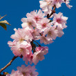 Cherry Blossom Tree — Stock Photo