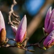 Magnolia Blossom Tree — Stock Photo