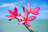 Plumeria flowers on the beach — Stok fotoğraf