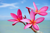 Plumeria flowers on the beach — Stock fotografie