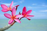 Flores de plumeria en la playa — Foto de Stock