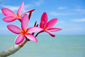Plumeria blüten am strand — Stockfoto