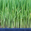 Young green paddy plant suitable background — Stock Photo