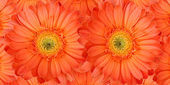 Beautiful daisy gerbera flowers — Stock Photo