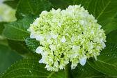 Beautiful hortensia flower — Stock Photo