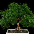 Bonsai tree with black background — Stock Photo #12212301