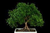 Bonsai tree with black background — Stock Photo