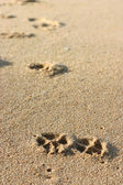 Dog Footprints on the Sand — Stock Photo