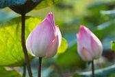 Pink Lotus Flower Bud — Stock Photo