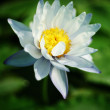 Water Lily — Stock Photo #12280514