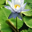 Water Lily — Stock Photo #12280526