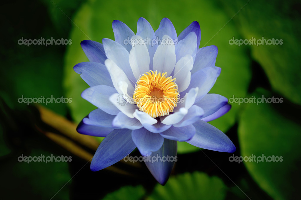 Water Lily — Stock Photo #12280776