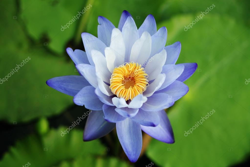 Water Lily — Stock Photo #12280788