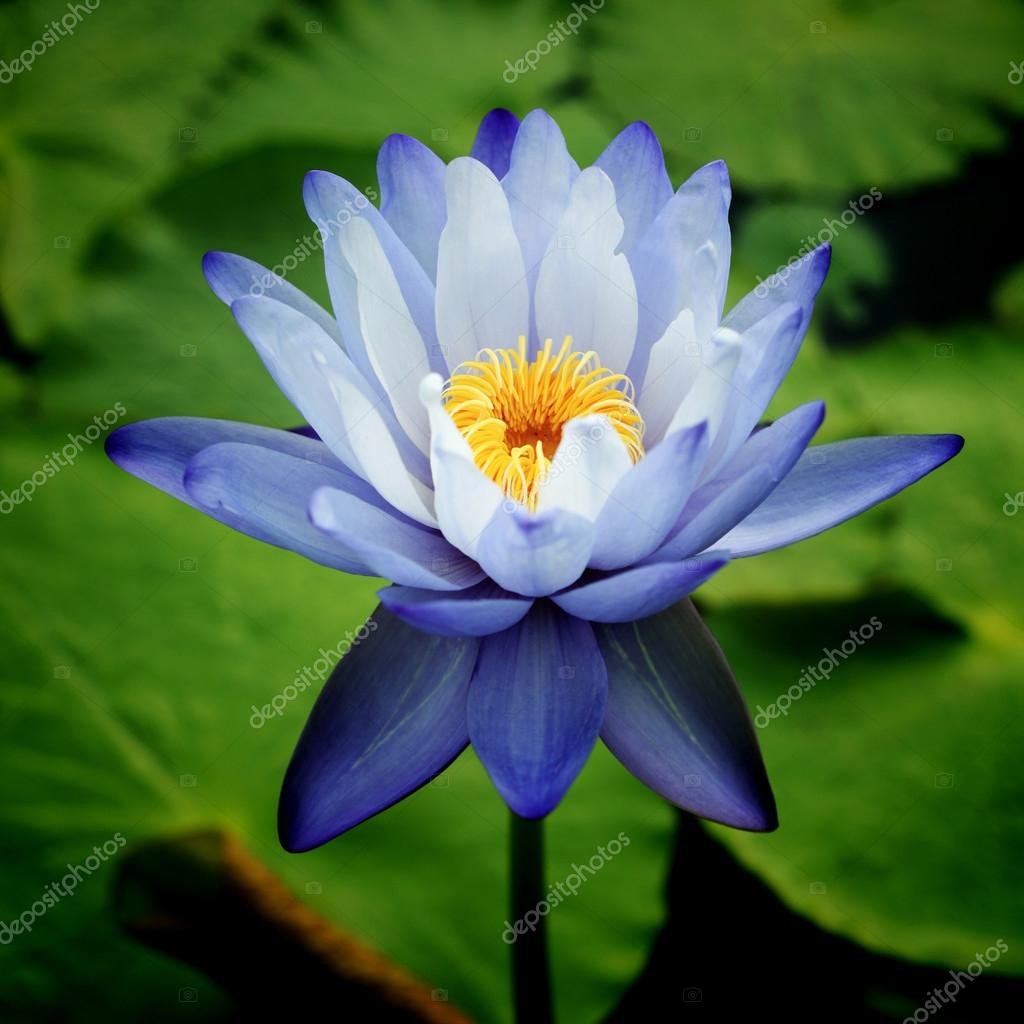 Water Lily — Stock Photo #12280837