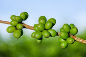 Green coffee beans — Stock Photo