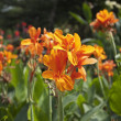 Orange Canna flower plants — Stock Photo
