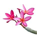 Plumeria flowers — Stock Photo