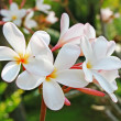 Frangipani Tropical Flowers — Stock Photo