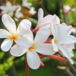 Frangipani Tropical Flowers — Stock Photo