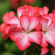 Pink Geranium Flower — Stock Photo #13046870