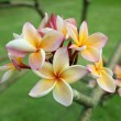 Stock Photo: Tropical flowers frangipani (plumeria)