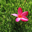 Plumeria on grass — Stock Photo