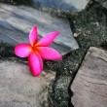 Plumeria on stone — Stock Photo