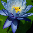 Blue Water Lily — Stock Photo