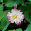 Water Lily — Stock Photo #13958004
